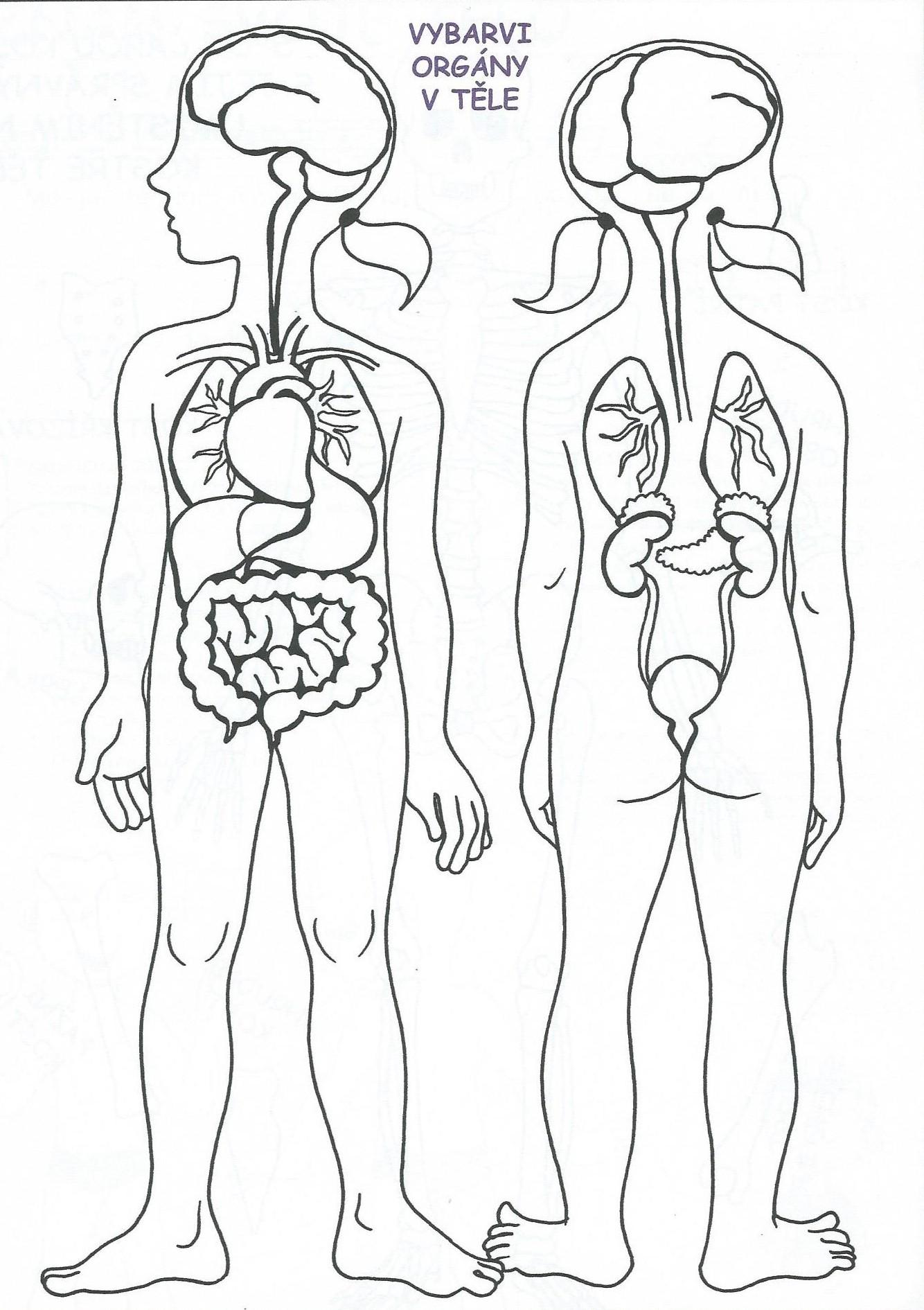 Organy V Tele Vytvarna Vychova